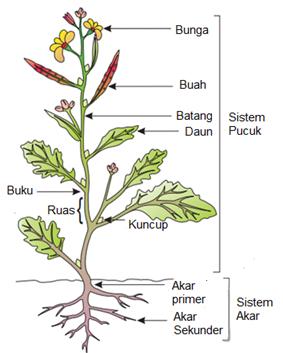 morfologi tumbuhan dewi rosanti