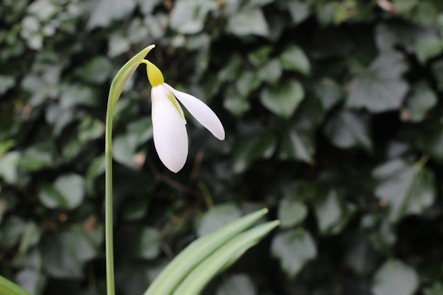 snowdrop 'Wendy's Gold'
