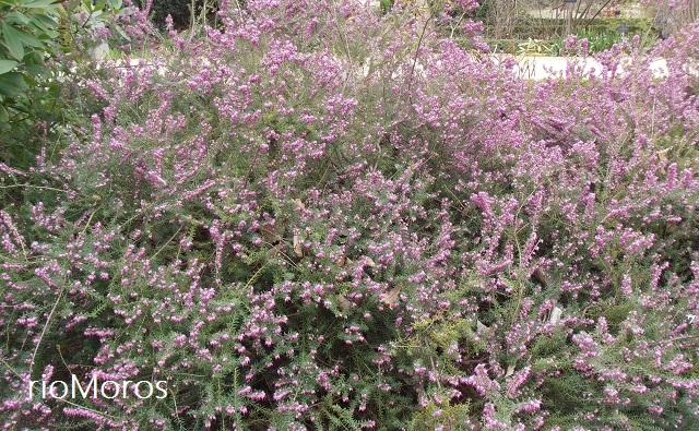 Mata de brezo enano rosa Erica x darleyensis