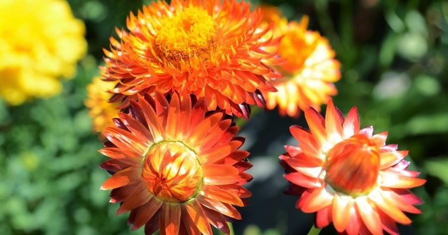Gurgaon Gardener Strawflower Everlasting Flower