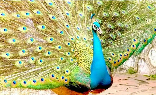 Ejekan burung  gagak pada burung  merak  OYIN AYASHI
