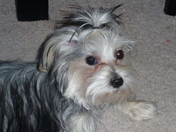Morkie Madness What Will My Morkie Puppy Look Like At Adulthood