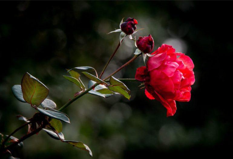 Wallpaper Bunga Mawar Bergerak