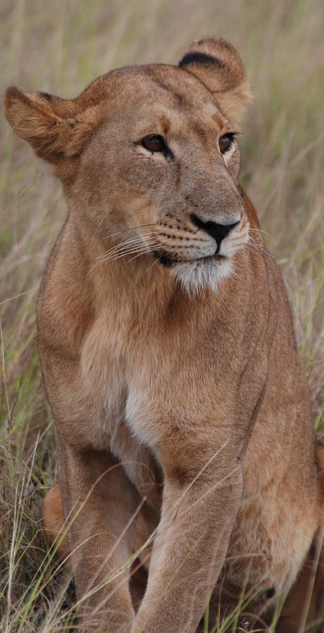 Photo of a lioness.