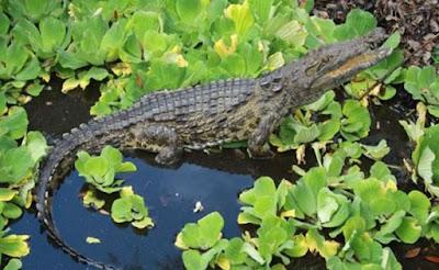 Buaya Nil Pemakan Manusia Ditemukan di Florida