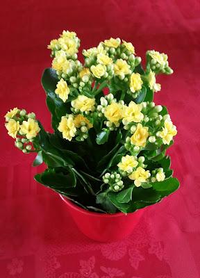 Kalanchoe-jaune