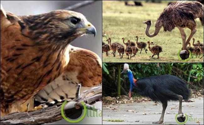10 Jenis Burung yang mampu membunuh Manusia