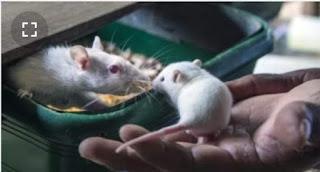 فئران صماء تسمع مجددا بفضل العلاج الجيني