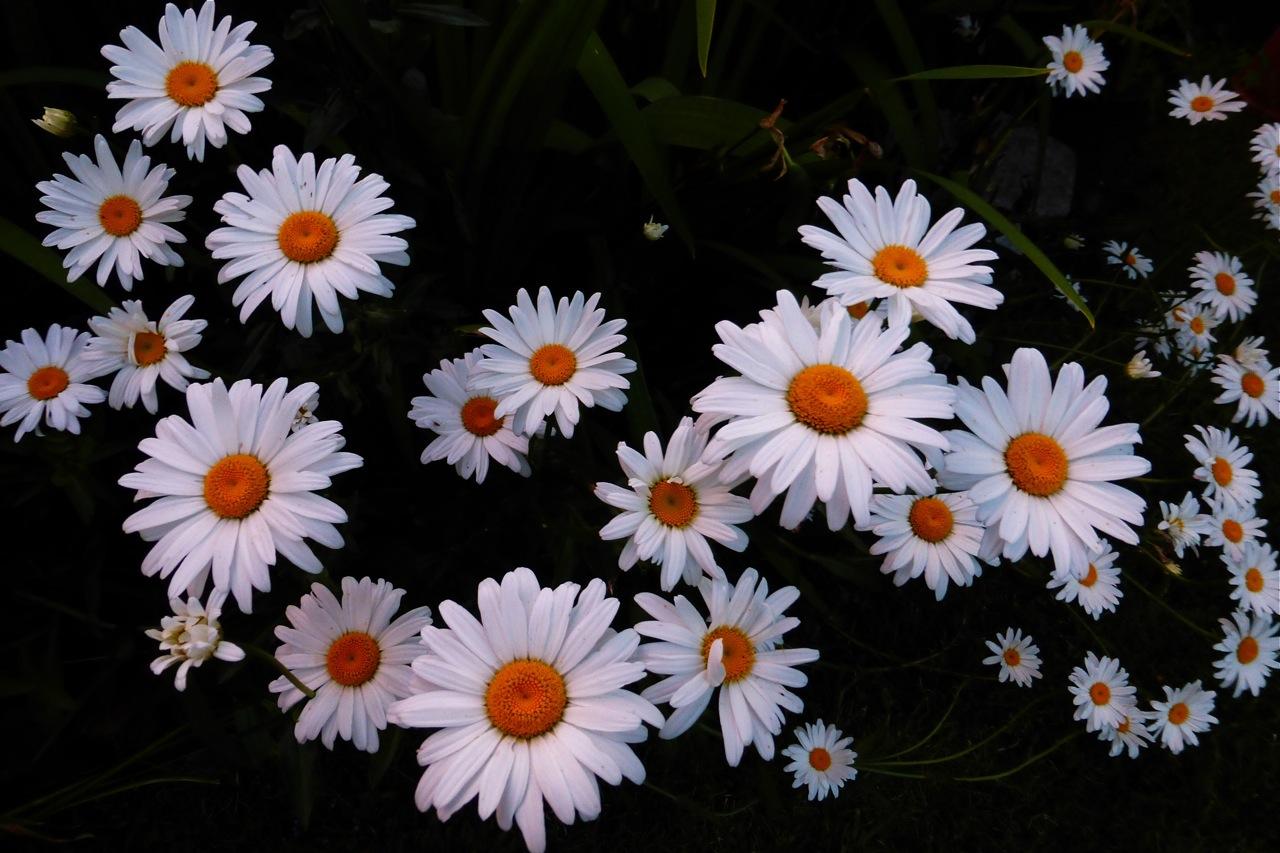 Shasta Daisy, daisies, summer daisy, summer daisies