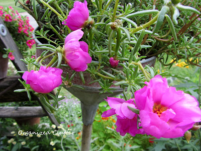 Cottage Garden - Moss Rose