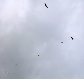 A group of storks circling above our heads