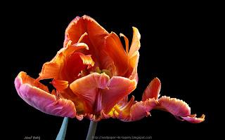 http://wallpaper-4k-tapety.blogspot.com/2015/02/tulipan-papuzi-red-parrot.html
