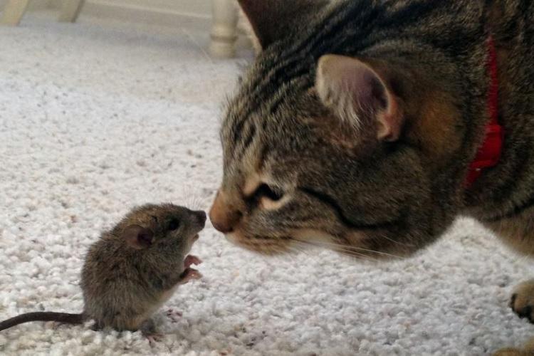 Çok iyi avcılardır, ancak birçok kedi bu yeteneğinden habersiz büyümektedir.