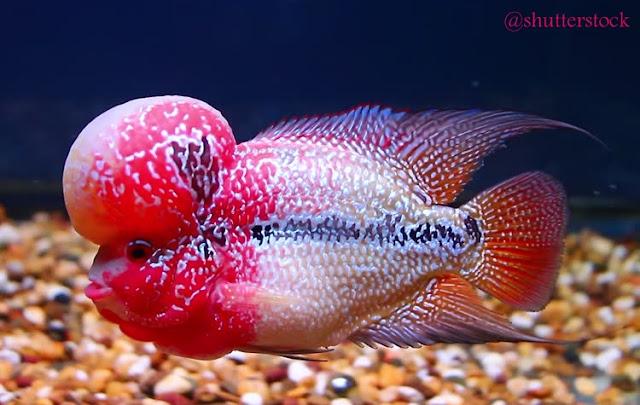 Ikan Lou Han, Macam Jenis Dan Strain Terbaik