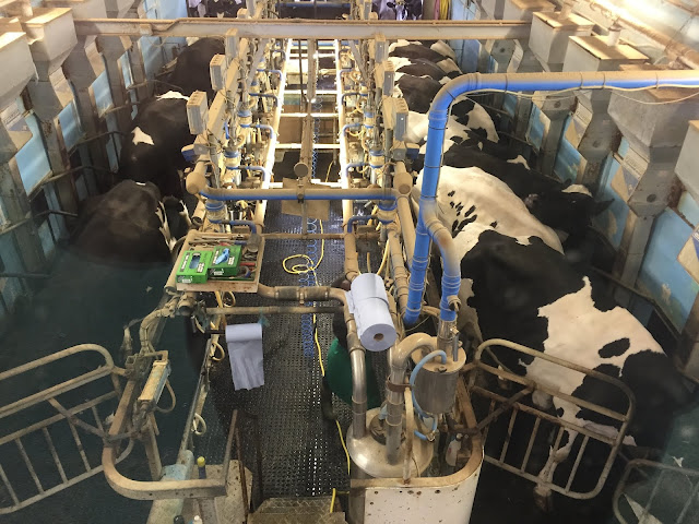 The working dairy farm lets you watch the cows being milked and you can buy the milk too