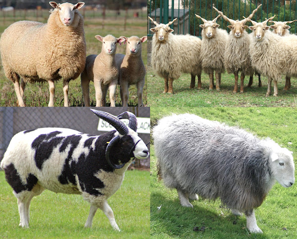 List of Sheep Breeds | Modern Farming Methods
