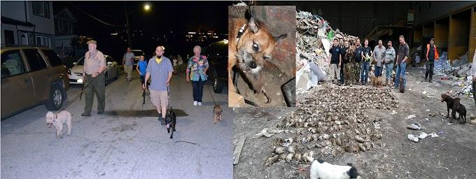 Perros Terrier, un arma letal en la guerra de Nueva York contra millones de  ratas
