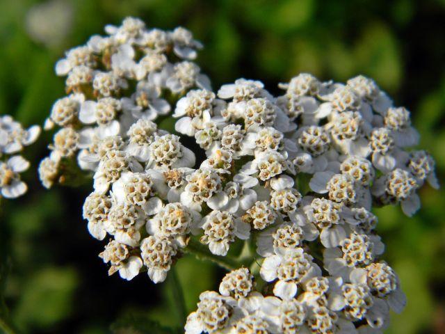 rośliny lecznicze, rośliny zielne, kwiaty łąk