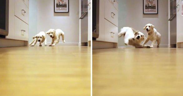 Timelapse de cachorros corriendo para la cena, de 11-46 semanas de edad