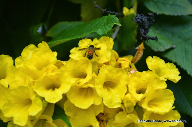 Bee extracting nectar from yellow flowers enidhi india travel blog bee extracting nectar from yellow flowers mightylinksfo