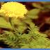 Bunga Tai Kotok Obat Sariawan, Sakit Gigi, dan Kejang Panas pada Anak-Anak