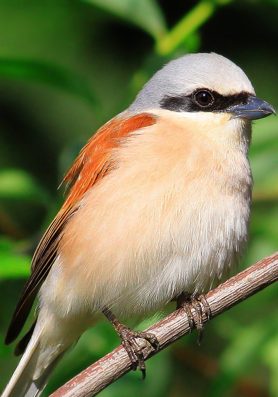 Picture of a red-backed shrike.
