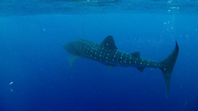 Encounter a whaleshark in Jardines de la Reina