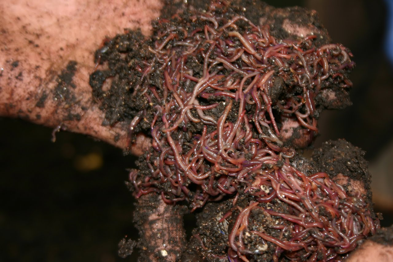 Worms In Breast - More info