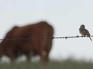 Image of a Vesper Sparrow
