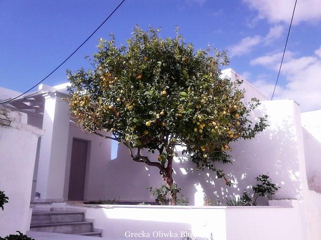 drzewko pomarańczy na tle białego greckiego domku