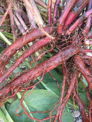 Dan Shen (Salvia Miltiorrhiza) Overview, Health Benefits, Side effects