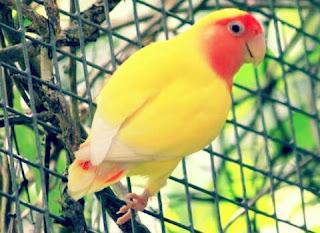 Lovebird Lutino