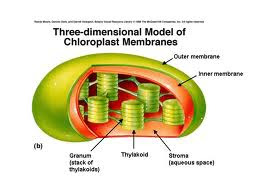 The structure of plant cell wall, chloroplast, vacuole ...