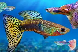 Jenis Ikan Guppy Yang Populer Di Masyarakat