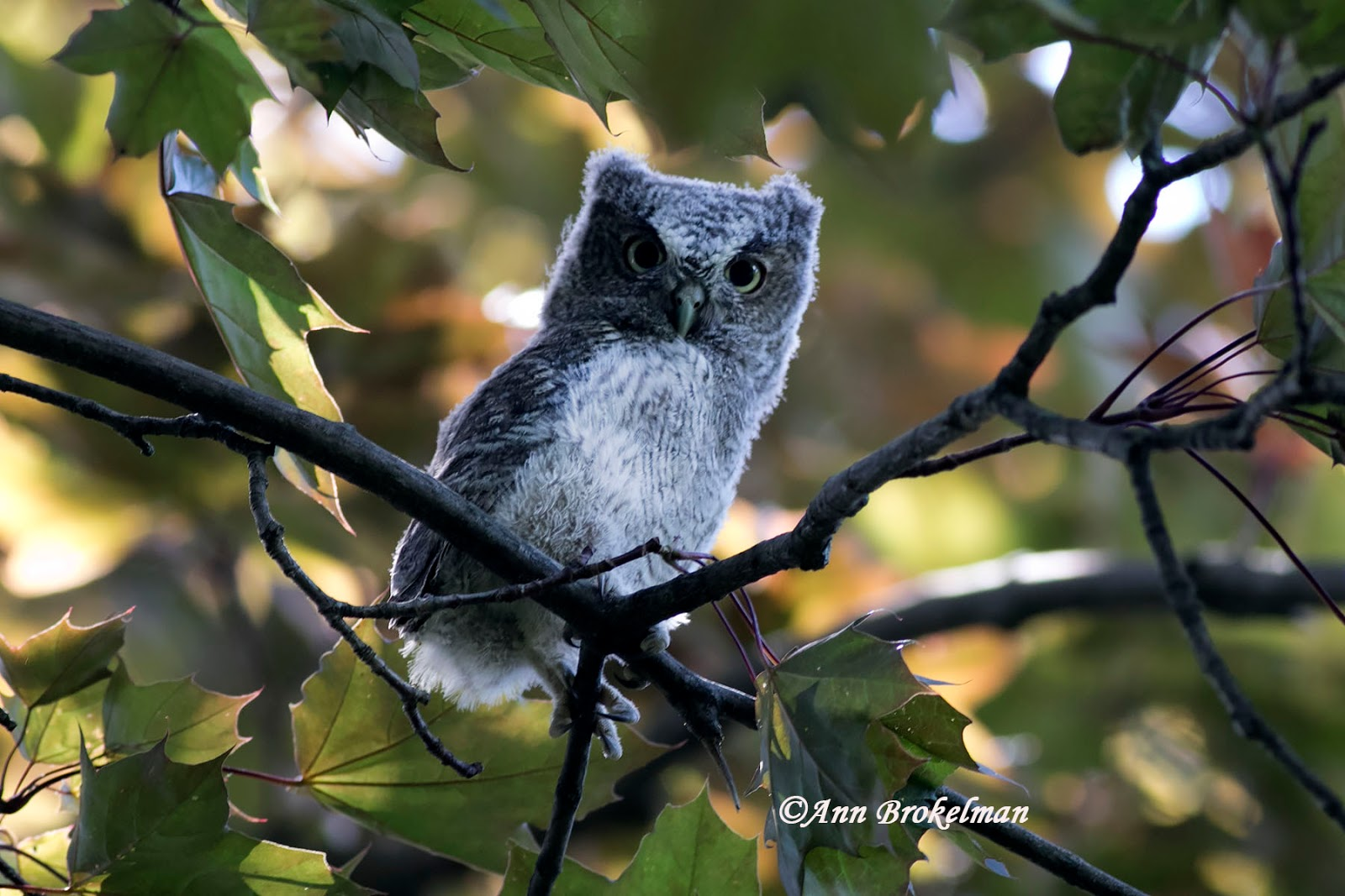 ann brokelman photography eastern screech owl in my backyard 2017