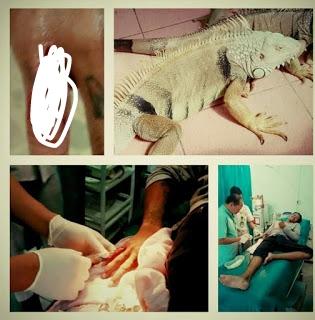 resiko dan bahaya memelihara iguana