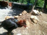 Ayam Aduan Turun Urat