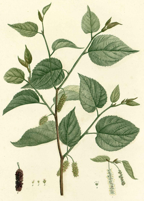 Botanical illustration of Morus rubra