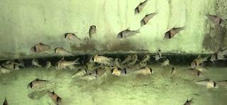 Inilah Langkah Langkahnya Budidaya Ikan Corydoras,