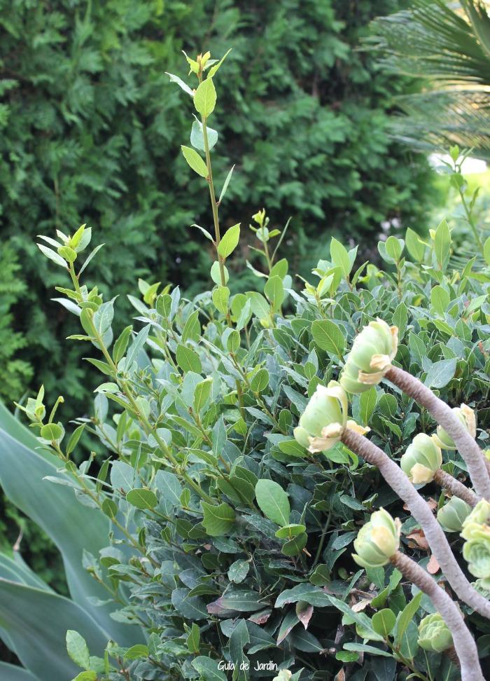 Laurel y suculentas (agave y aeoniums)