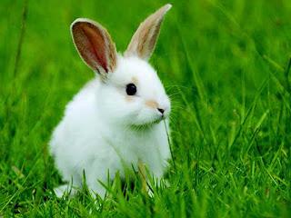 sifat dan ksarakteristik kelinci