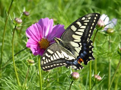花博記念公園鶴見緑地のコスモス アゲハ蝶
