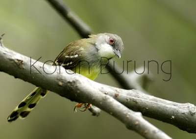 Burung ciblek atau prenjak putih yaitu burung mungil yang mempunyai power bunyi luar biasa Cara Perawatan Ciblek/Prenjak Putih dari Bakalan Hingga Menjadi Gacor Ngebren