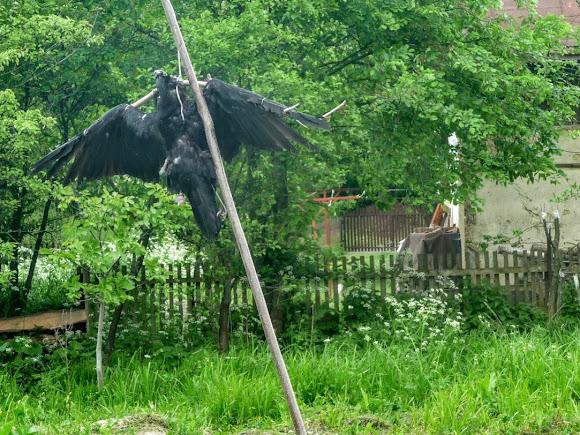 Болехів. Розп'ята ворона на вул. Залізничній