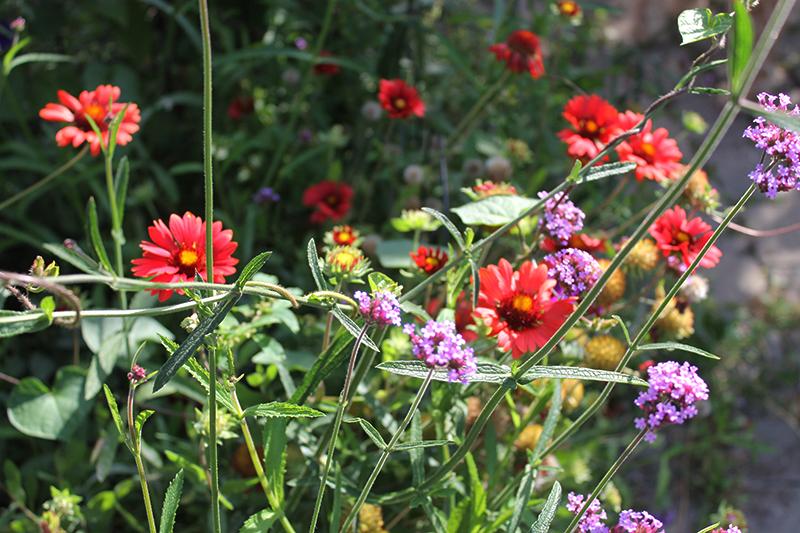 Red Gaillardia and Verbena bonariensis