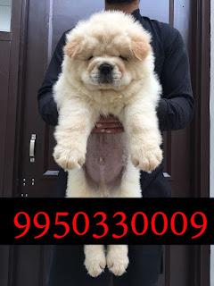 American Bully Black Brown Greay Black And White Sale In Dogshub