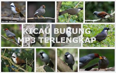 Download Gratis Kumpulan Kicau Burung Mp3 Terlengkap dan Terpopuler