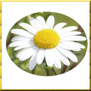 Margarit otunun faydaları Vücut dinçlik,  enerji, Nezle,  Grip,   fayda, yarar, zarar,  Göğüs,  yumuşak,  öksürük,  Balgam,   Diş ağrısı,  Sinir,   Midevi, Yatıştırıcı,  spazm, . İştah  Böbrek taşı Margarit Bitkisi nedir   Margarit Bitkisi zararları   Margarit Bitkisi yararları