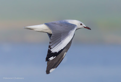 King Gull In The Fog - Woodbridge Island Canon EOS 6D