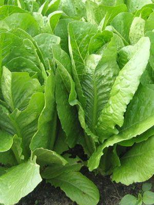 Kos Lettuce